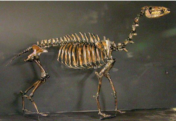 скелет камелопса