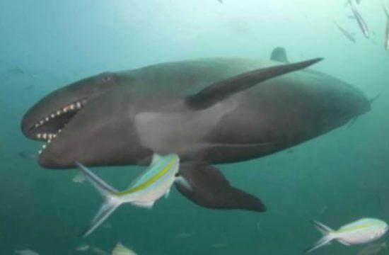 касатка акула