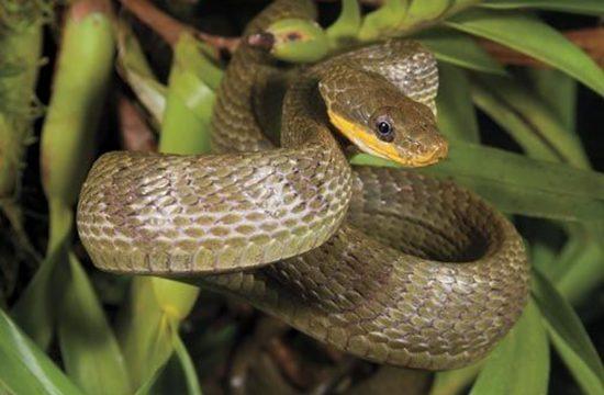 гребенчатые змеи