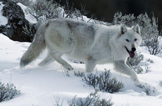 андский волк